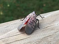 spotted lanternfly.jpg