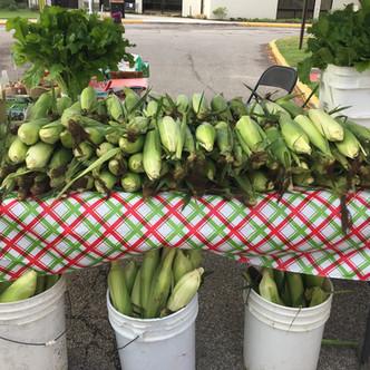 Corn crop.jpg