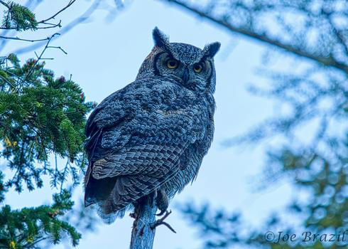 Joe Brazzil Pic 4 Owl.jpg