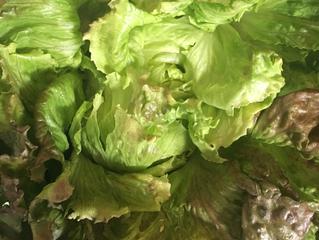 Une salade sans produits chimiques