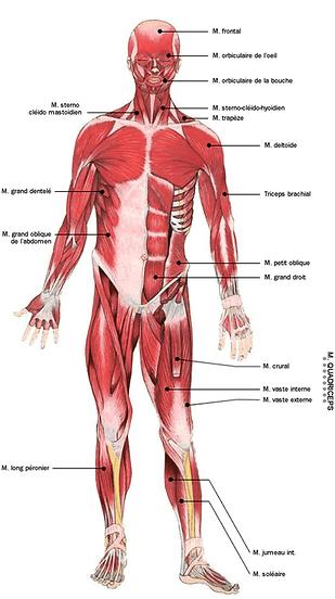 cappourtous anatomie globale