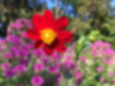 Wild, Red Dahlia and Peter's Purple Mona