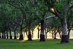 walnut_trees_walnut_board_of_california.
