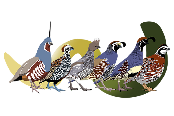quail_poster_sideways_no_text_small.png