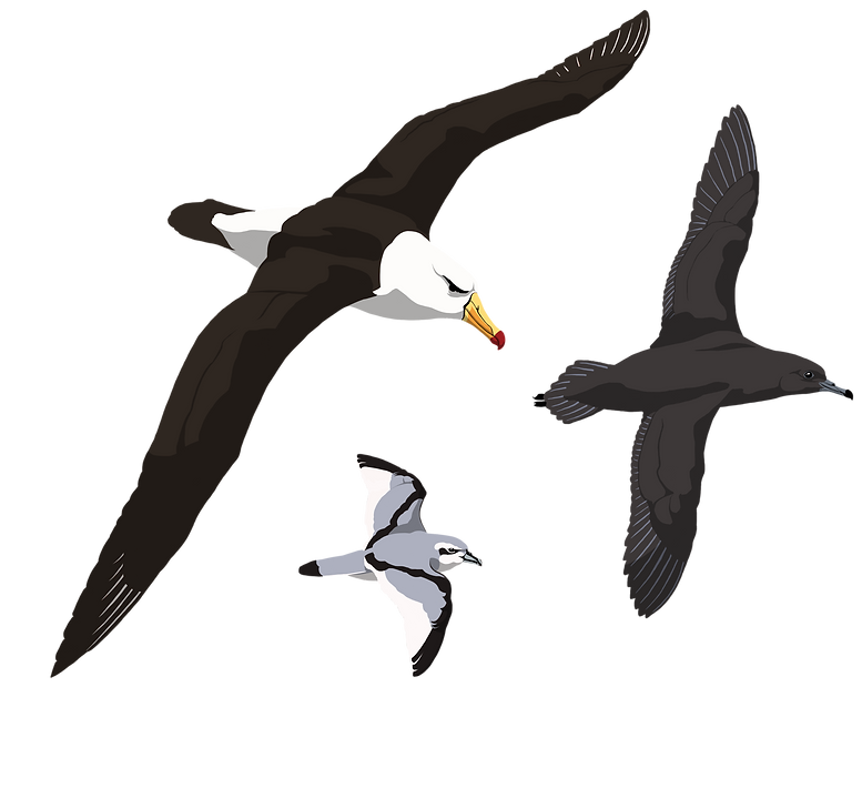 Black-browed Albatross, Sooty Shearwater, and Antarctic Prion