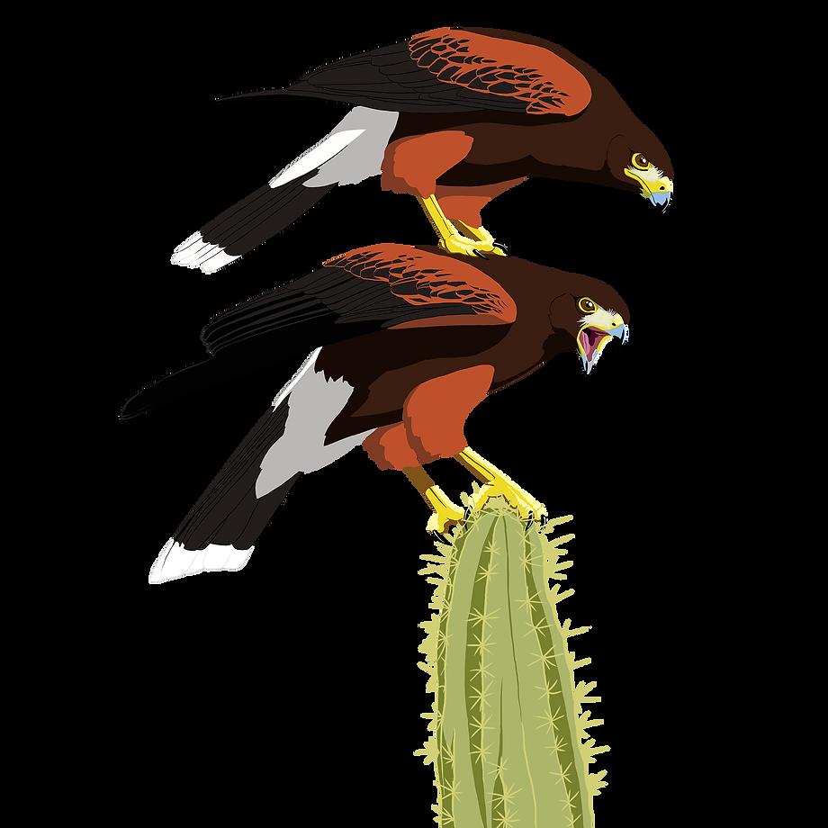 Funny Harris's Hawk totem on Saguaro Cactus.