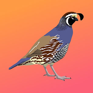 california_quail_male_edited.jpg