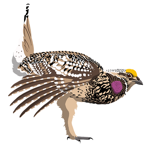 Sharp-taild Grouse