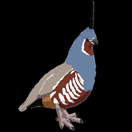mountain_quail.png
