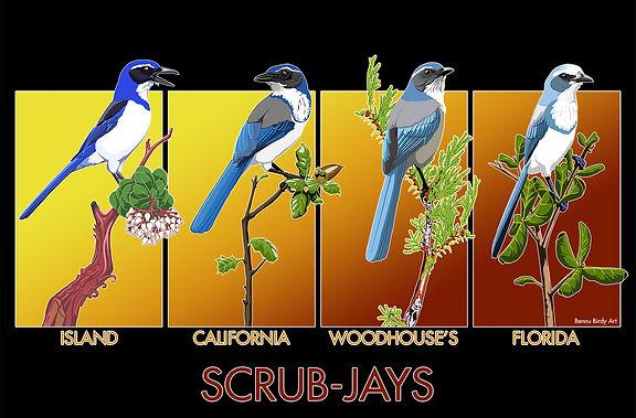scrub_jays.jpg