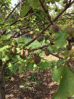 apricot 4-2