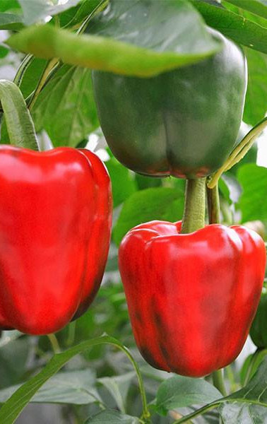 growing bell pep red.jpg
