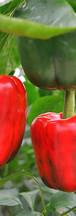 growing bell pep red.jpg