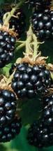 blackberry-triple-crown-1-400_grande.jpg