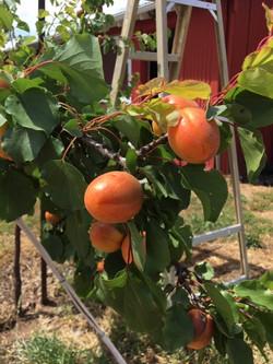 ripening apricots 2