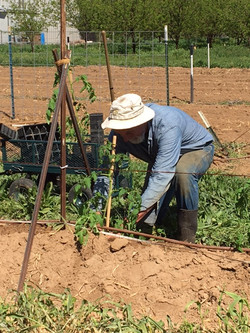 tomato planting 4-2