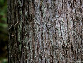 Satmya research- Cedar bark