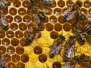 How Do Honey Bees Make Hives?