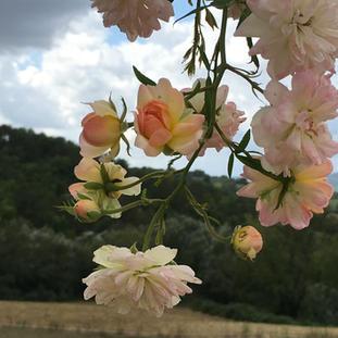 roses winter.JPG