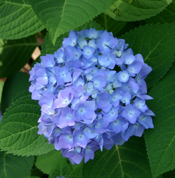 Blue Hydrangea. Photo by Hawthorn Flower Shop.