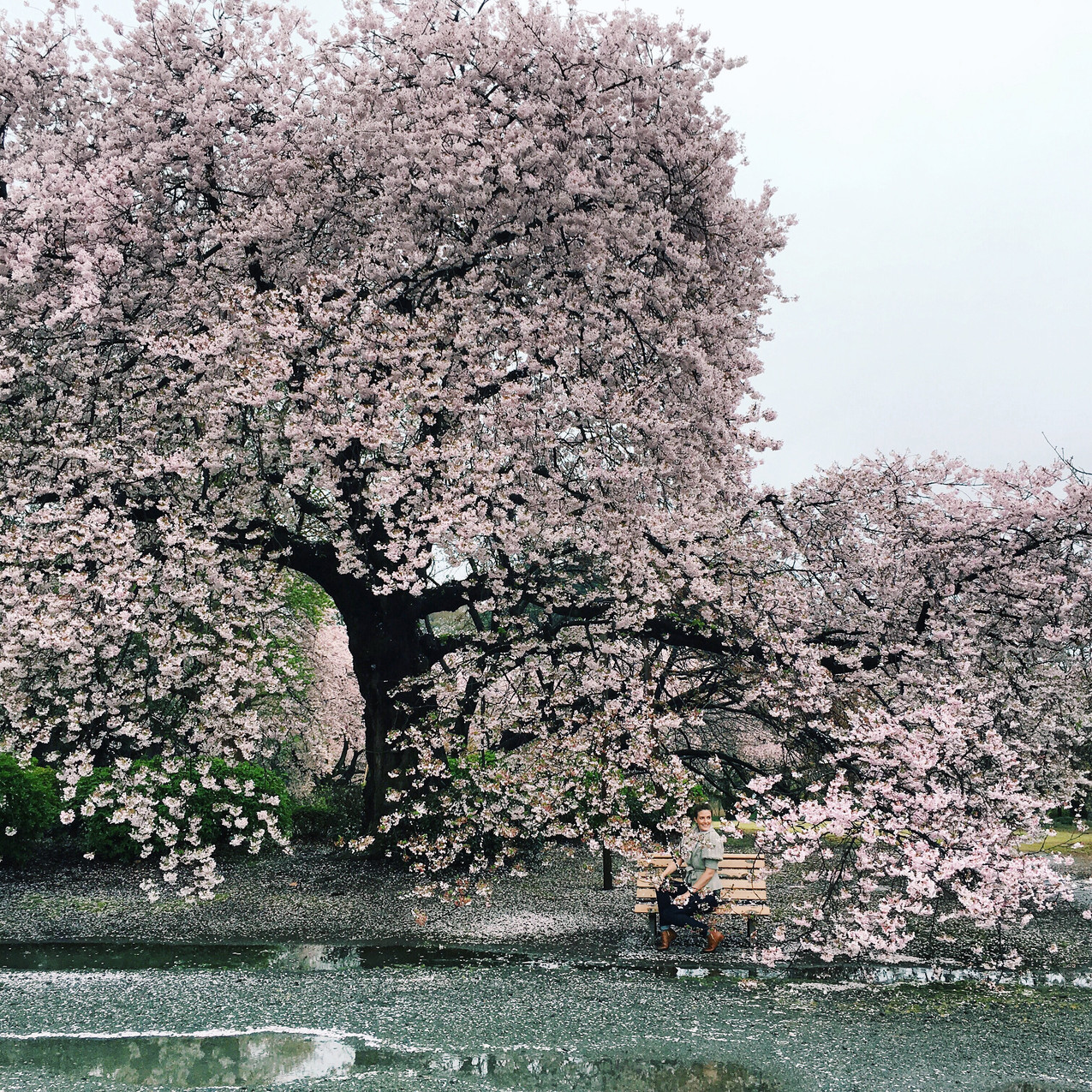 Cherry Blossoms in Japan, April 2016