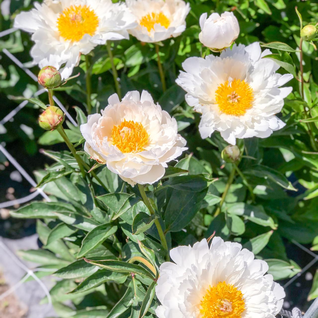 Scenic Place Peonies & Franzie's Flower Design