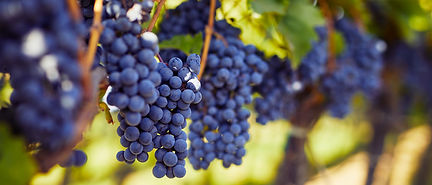 Vignes-Cabernet-Franc.jpg