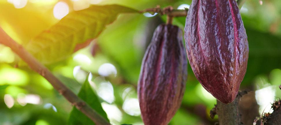 cacao-Eris.jpg