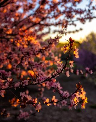 Magil Blossom