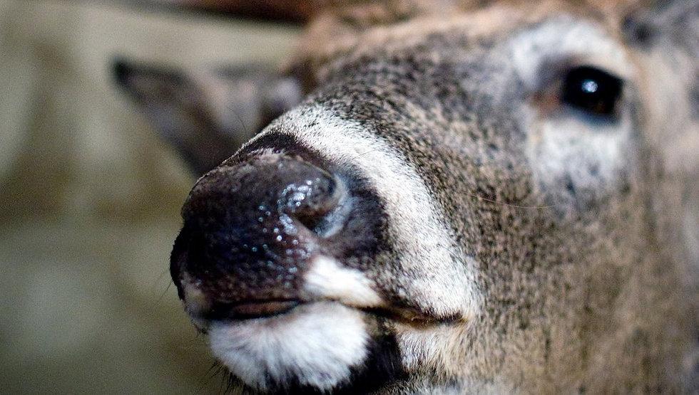 deer nose pic.jpg