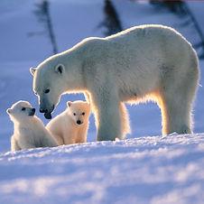 watchee-lodge-polar-bear-cubs_edited.jpg