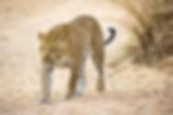 leopard-walking-EDIT.png