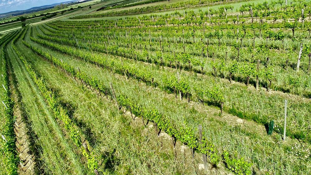 Kalk & Kreide image of Ried Haidsatz on the plains of the Schützner Stein - a site for gorgeous Pinot Blanc. Schützen, Burgenland.