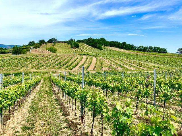 Kalk & Kreide image of vines in Ried Steinberg on top of the Schützner Stein, Burgenland, Austria.