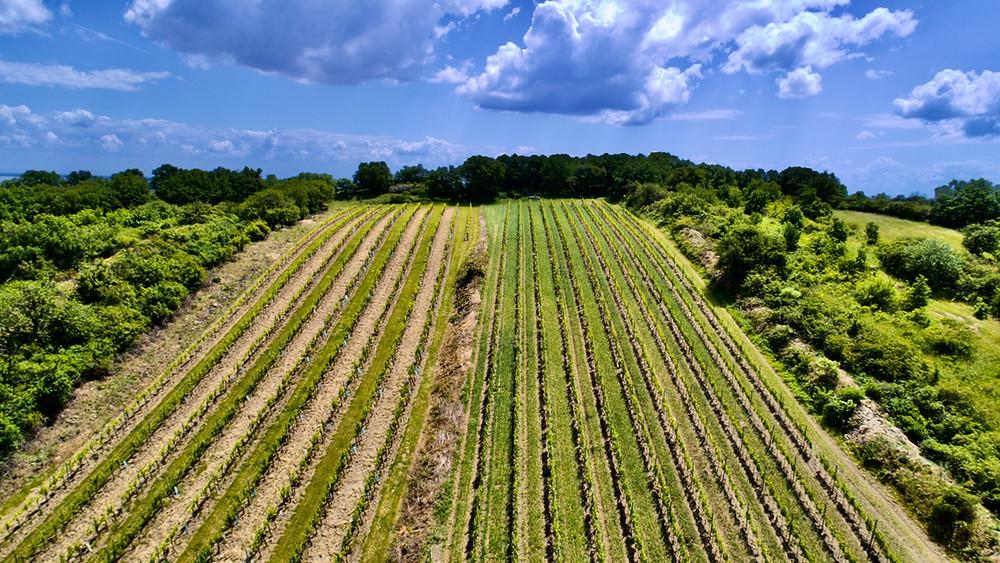 Kalk & Kreide image of vines ascending to the top of Ried Goldberg hill. Schützen, Burgenland.
