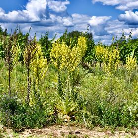 Verbascum thapsus, Ried Marienthal, Oggau