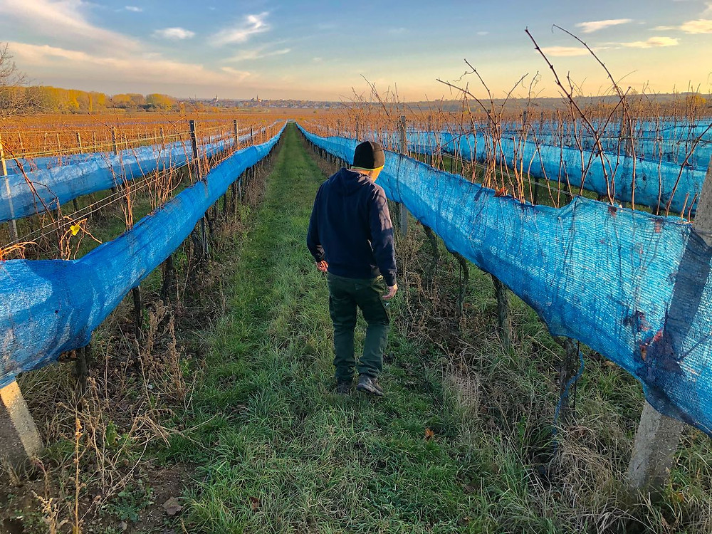 Kurt Feiler of Feiler-Artinger checks on Botrytis-infected grapes after starlings devoured most the sweet fruit over a few hours on a warm November day