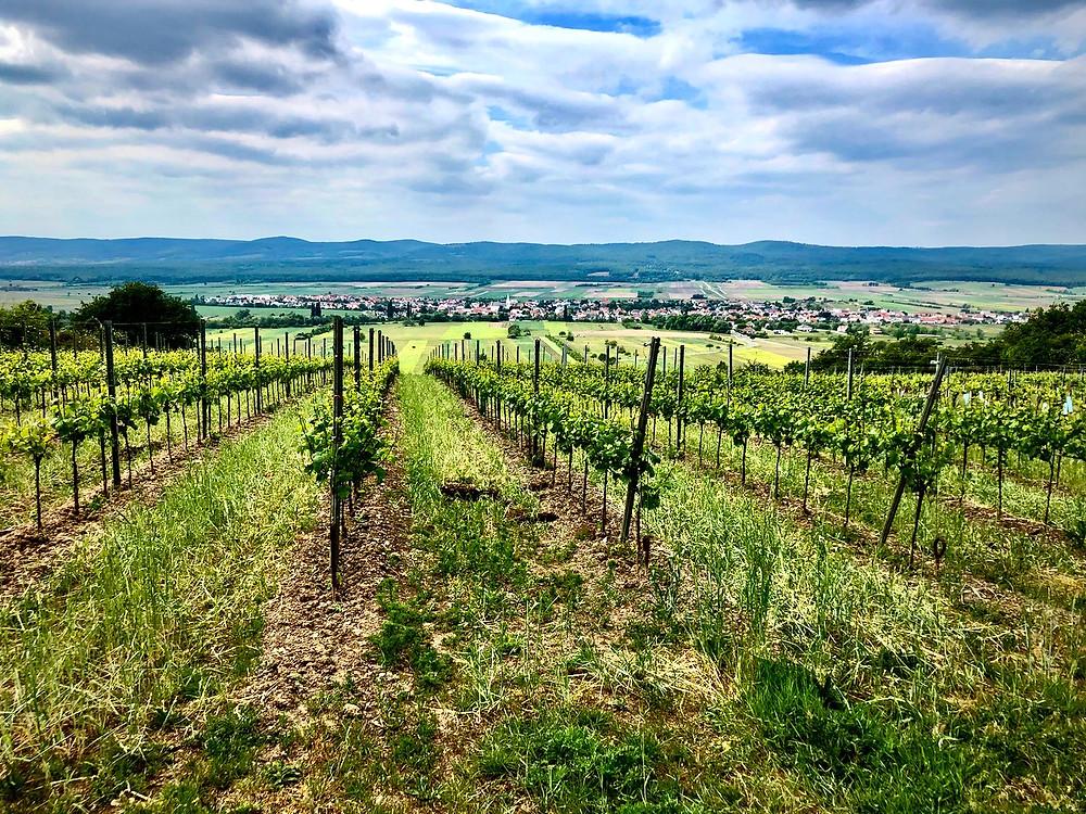 Kalk & Kreide image of vines growing at the highest point of Ried Goldberg. Schützen, Burgenland