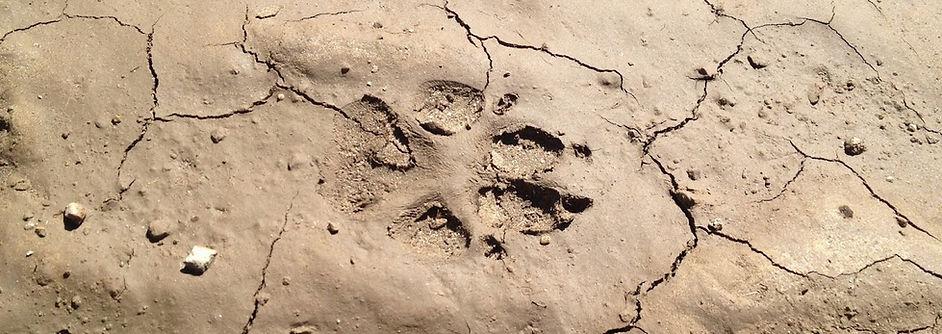 iberian wolf tracks portugal