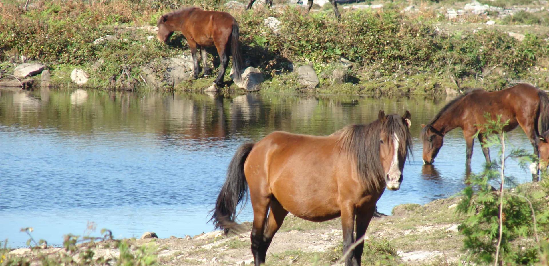 Wild horses Garrano