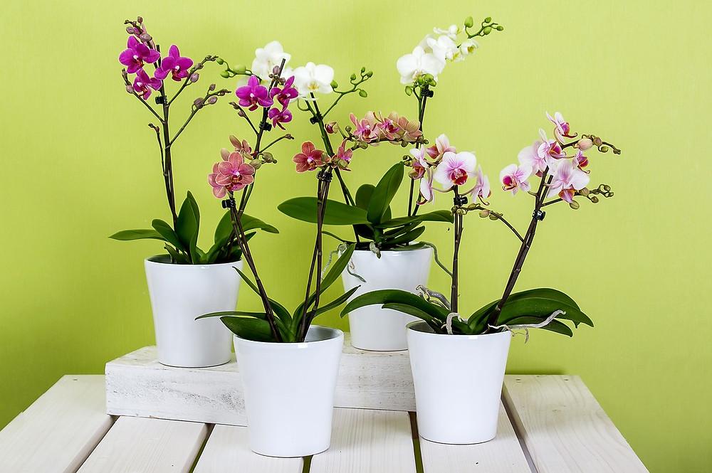 como manter suas orquídeas lindas