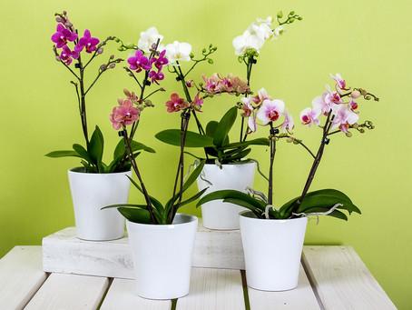 3 passos essenciais para manter suas orquídeas sempre lindas