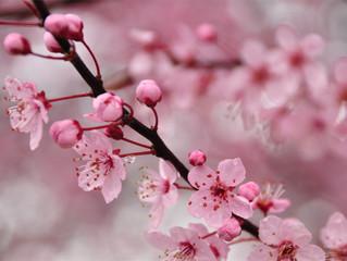 Flor de Cerejeira: Saiba mais sobre essa linda e lendária flor