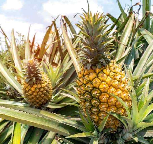 Nanas / Pineapples