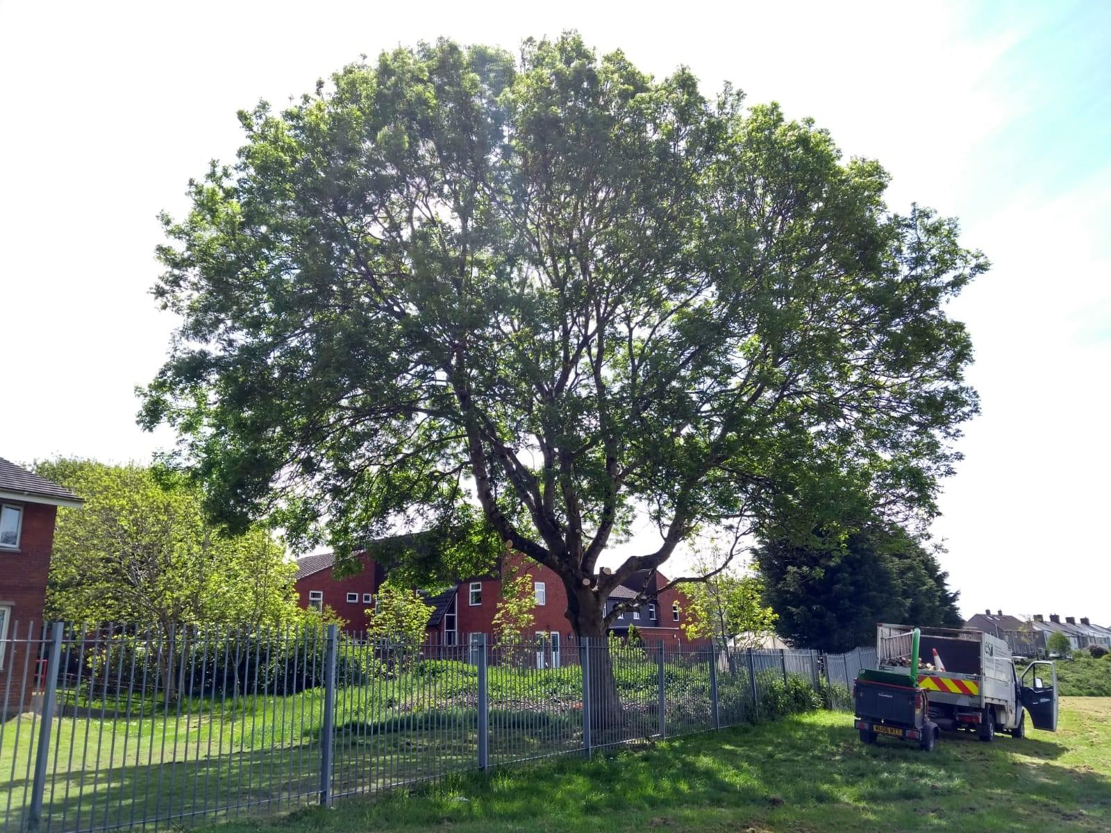School tree after crownlift
