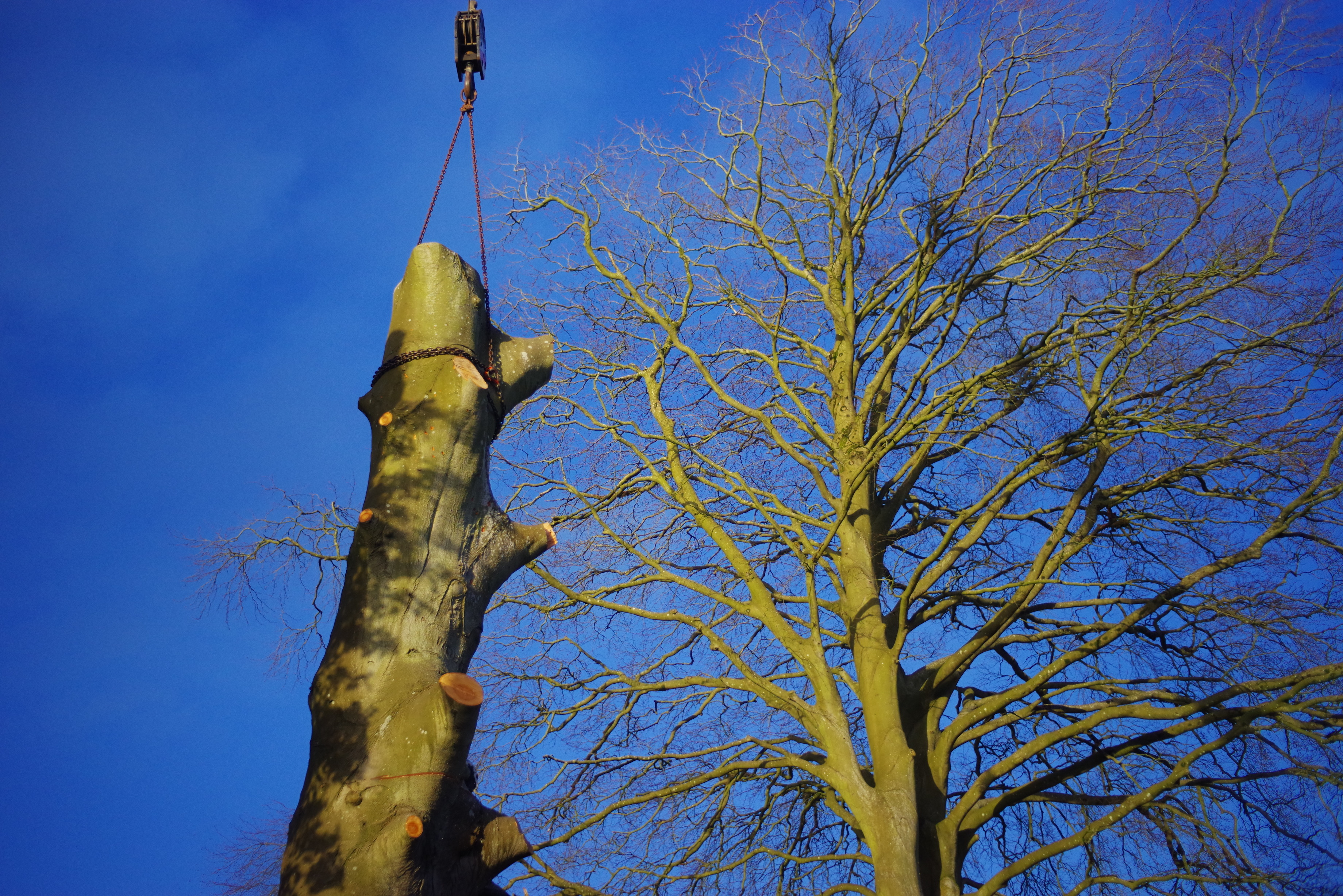 Beech stem being lifted by crane