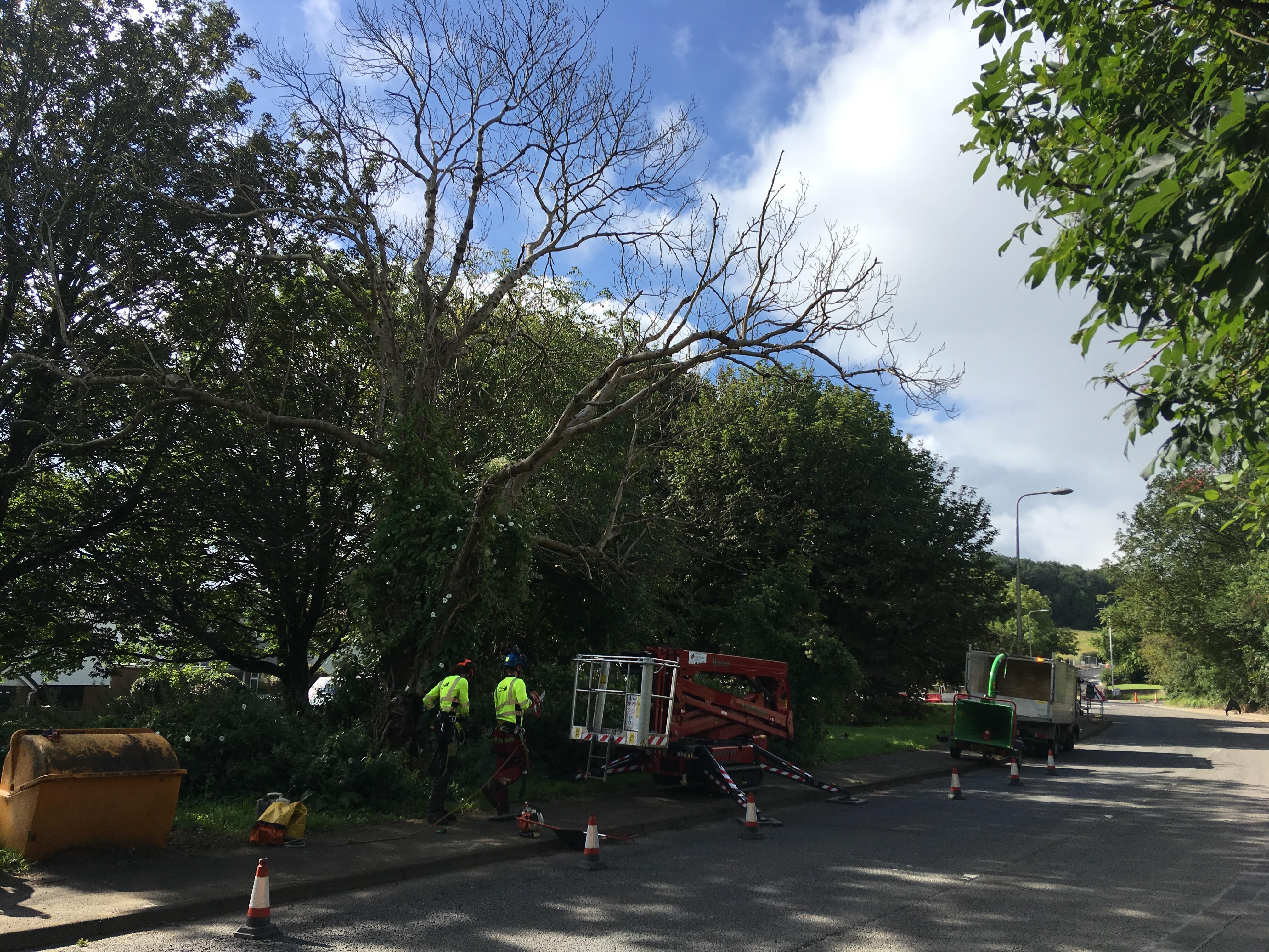 Removal of Dead ash Llantwit Road