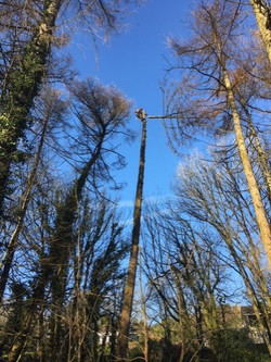 Larch dismantle