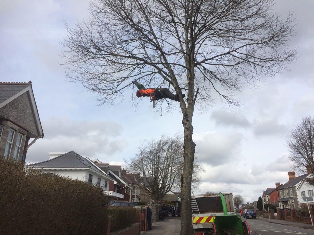 Street tree crownlift