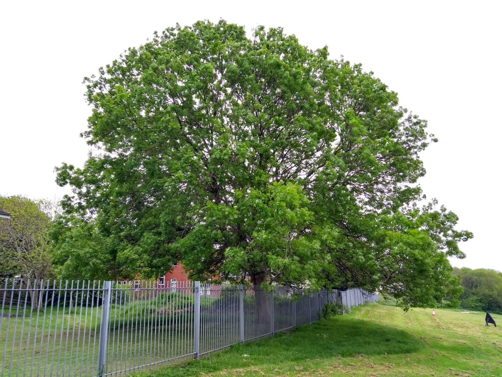 School tree before crownlift